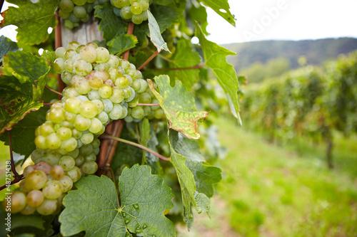 Foto op Canvas Wijngaard Weinstock mit Riesling-Weißwein-Trauben