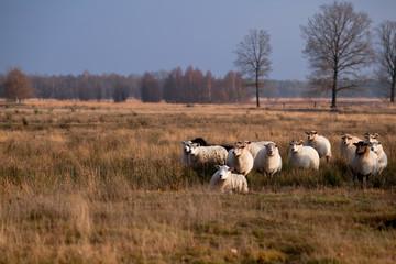 sheep in savanna