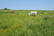 France, a horse in a meadow in Longuesse