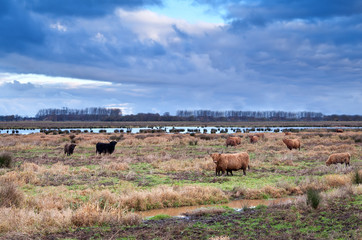 scottish cattle on meadows