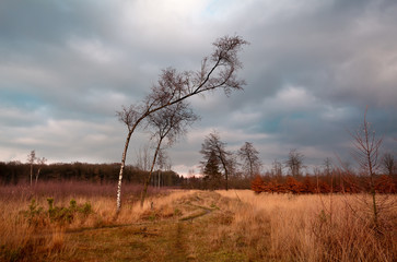 birch on wild meadows in Dwingelderveld