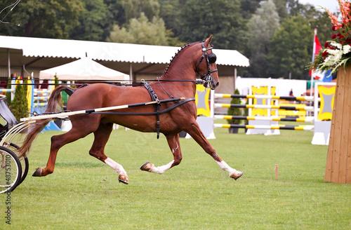 horse runs in ring
