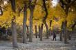diversifolious poplar