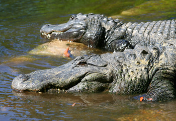 American Alligators   of  Florida