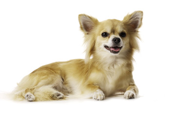 Chihuahua Laid Down Panting Isolated on a White Background
