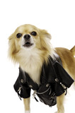 Chihuahua Wearing a Black Leather Jacket