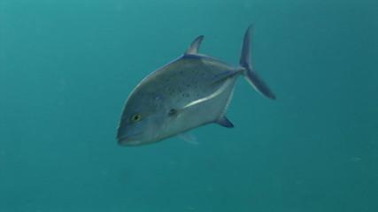 Unterwasserwelt: Makrele, Rotes Meer