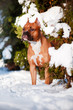 american staffordshire terrier dog portrait