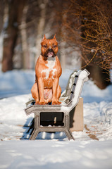 american staffordshire terrier dog on a bench