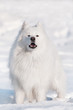 beautiful samoyed dog portrait in the snow
