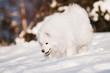 samoyed dog sniffing snow