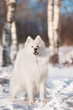 samoyed dog winter portrait
