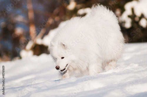 samoyed dog sniffing snow