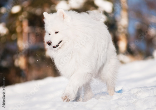 beautiful samoyed dog walking outdoors