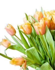 fresh orange tulips isolated on white background
