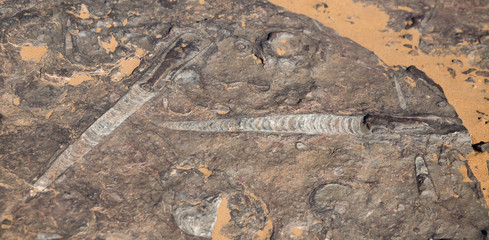 orthoceras and ammonites in the desert