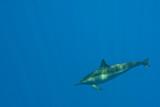 Fototapeta pływanie - delfin - Wodny Ssak