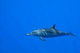 Fototapete Swimming - Delphine - Meeressäuger