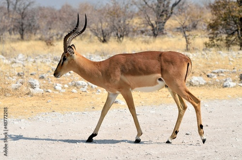 Male black-faced impala (Aepyceros melampus petersi)