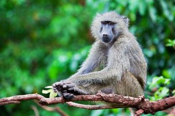 Baboon monkey in African bush. Tanzania