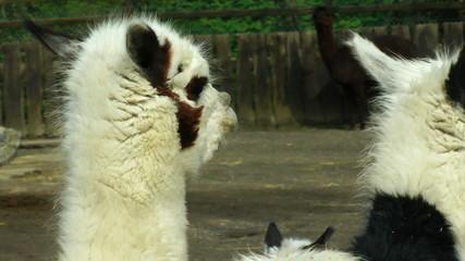 Alpaca close up at farm