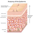 3d anatomy of the epidermis, eps8