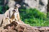 Two Meerkat sitting on the rock for lookout