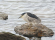 Night heron.