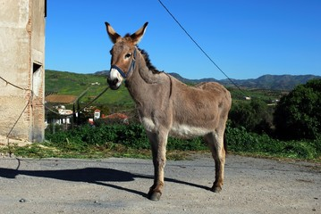 Tethered donkey, Andalusia © Arena Photo UK