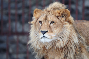 lion. Kharkiv Zoo. Ukraine