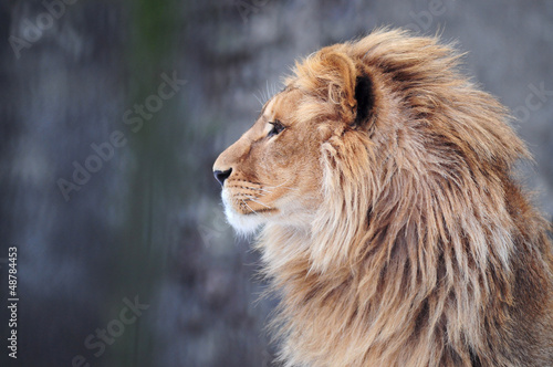 Poster Leeuw Portrait of a lion in profile