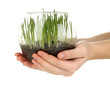 Hands holding glass vase with growing grass isolated on white