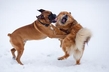 zwei im Schnee tobende Hunde