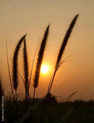 Grass flower sunset