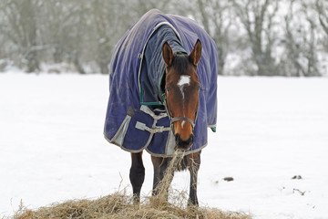 Thoroughbred Horse Eating Hay in Snow