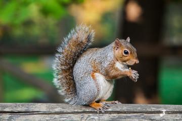 scoiattolo americano