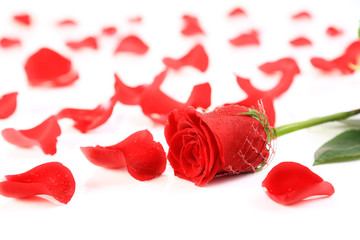 The rea rose and petals on white background