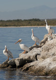 American white pelicans,the Salton sea