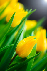Yellow tulip flower background