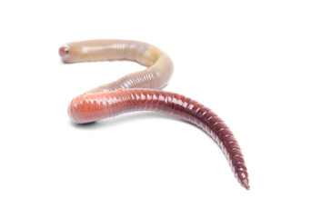 animal earth worm isolated