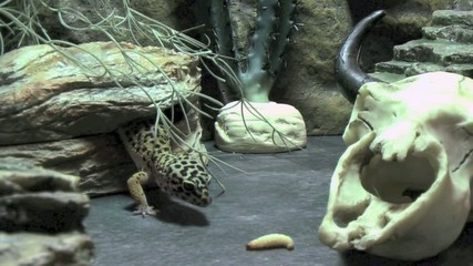 Leopard Gecko Catching And Eating A Waxworm