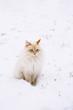 Schneekatze - Sibirische Waldkatze im Schnee