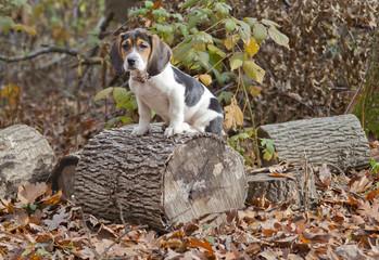 Beagle Basset Puppy Sitting on Log