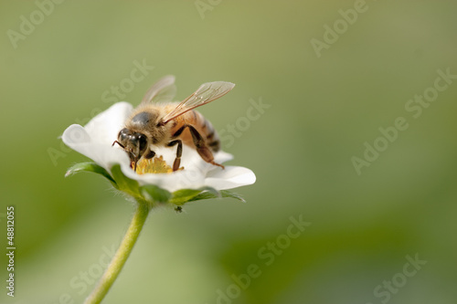 ミツバチとイチゴの花