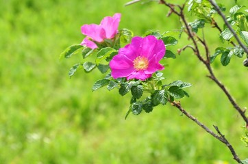 ピンクのハマナス