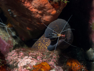 Morray Eel With Cleaner shrimp