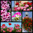 Five mosaic photos of geranium