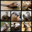 Eight mosaic photos of otters