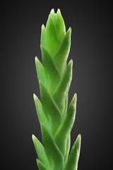 Pine Leaf Tip
