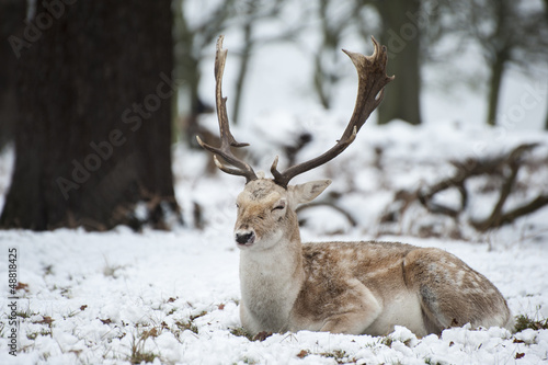 Beautiful image of Fallow Deer in snow Winter landscape
